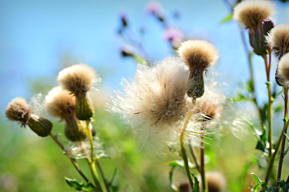 Thistle, Seed Head, Down, Fluff, Plant, Summer