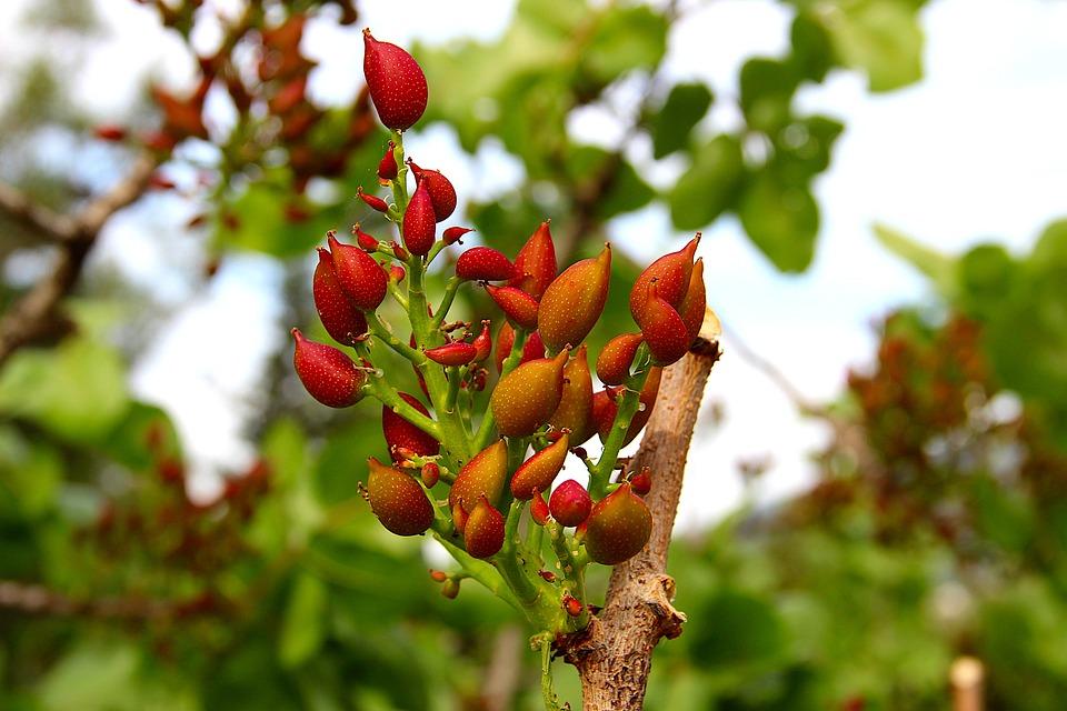 Pistachio, Nut, Plant, Flower, Seedling, Nature, Tree