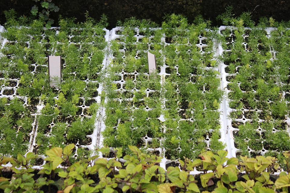 Seedlings, Seedling Tray, Trays, Gardening, Green
