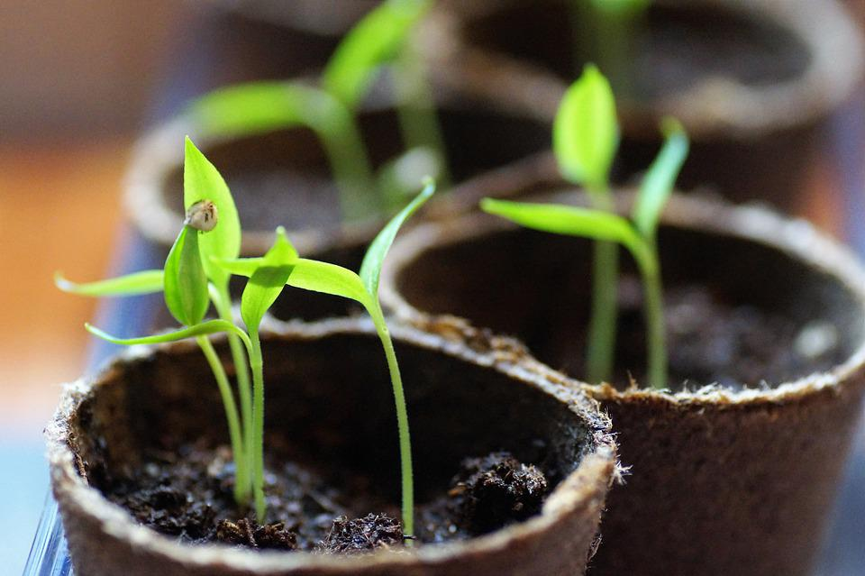 Seedlings, Germination, Pepper, Plants, Young