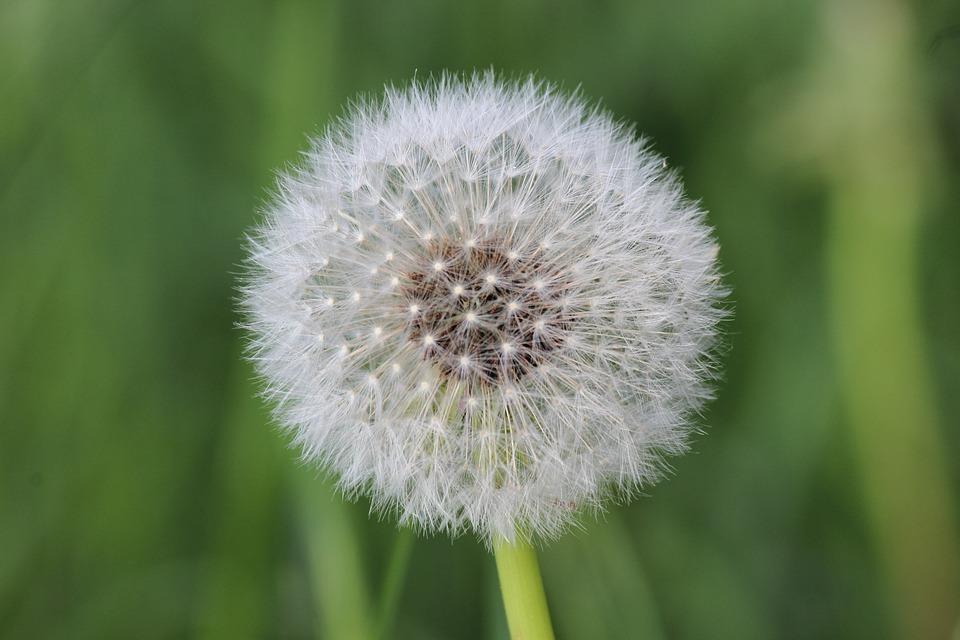 Dandelion, Blossom, Bloom, Faded, Seeds, Flying Seeds