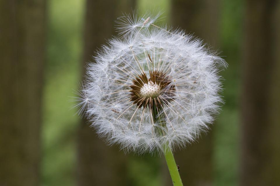 Background, Dandelion, Meadow, Seeds, Close, Nature