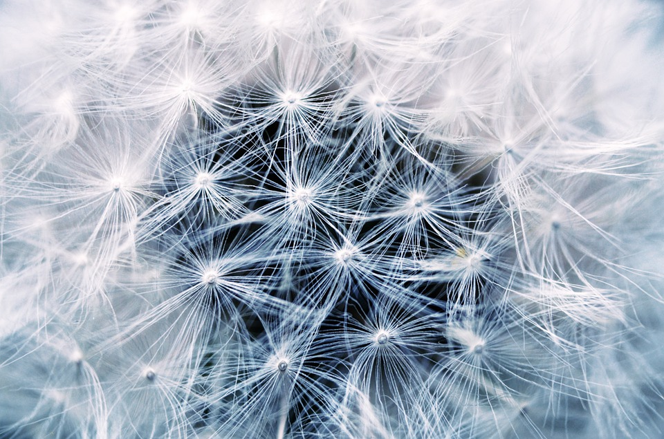 Dandelion, Seeds, Pointed Flower, Plant, Flower, Nature