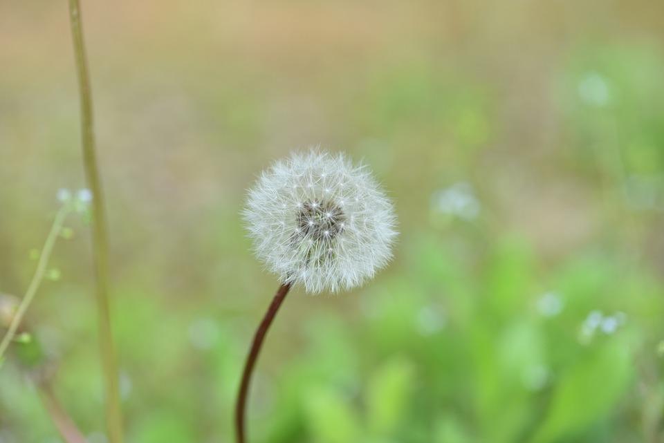 Dandelion Mr Hall, Mr Hall, Seeds, Dandelion Flower
