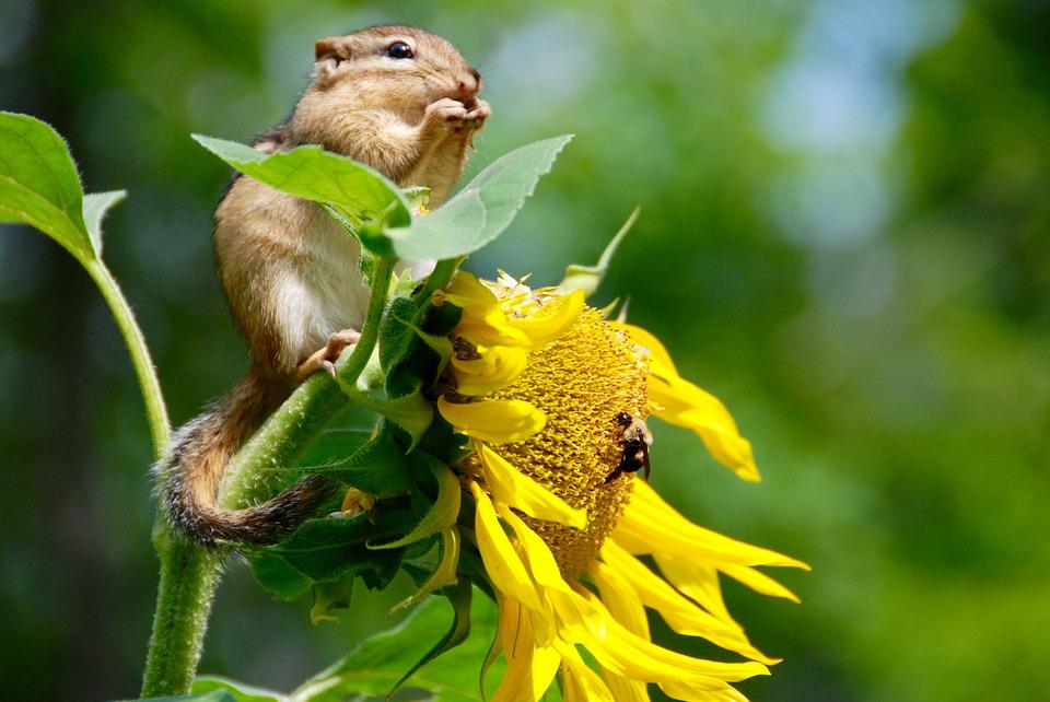 Chipmunk, Animal, Sunflower, Seeds, Eating, Nourishment