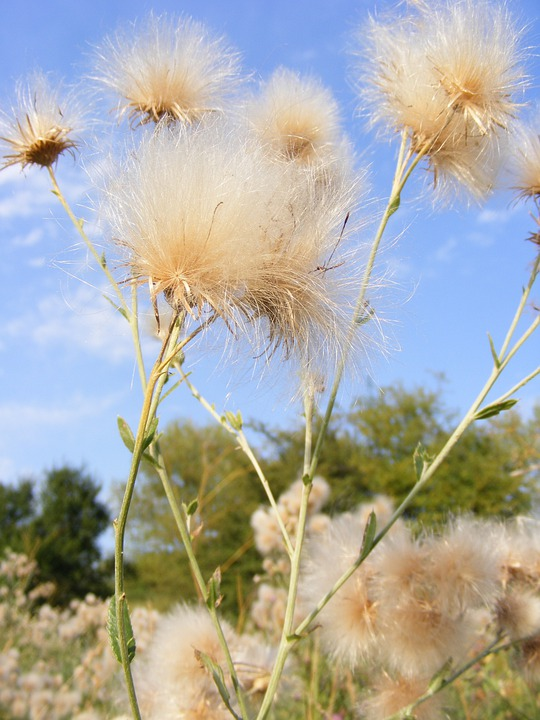Dandelion, Fluff, Seeds, Floral, Plant, Natural