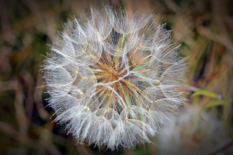 Seeds, Flower, Dandelion, Flying Seeds