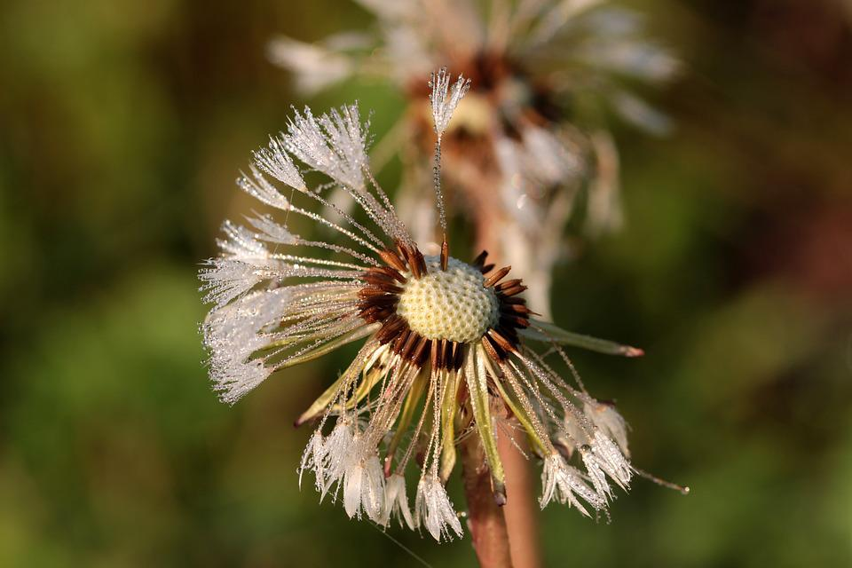 Dandelion, Flying Seeds, Seeds, Flower, Pointed Flower