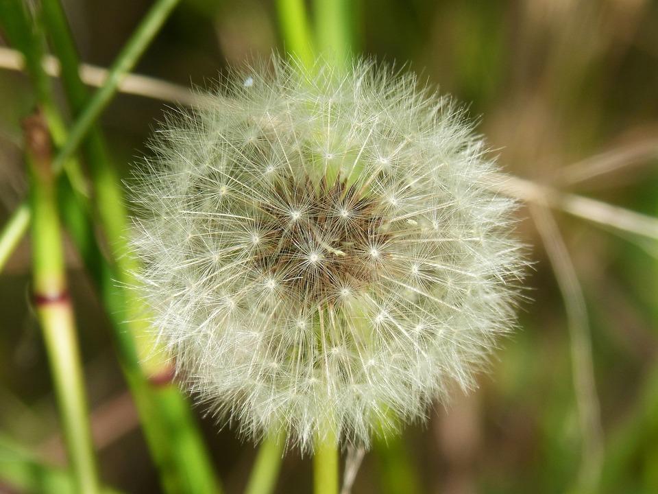 Dandelion, Fly, Angelitos, Seeds, Wind