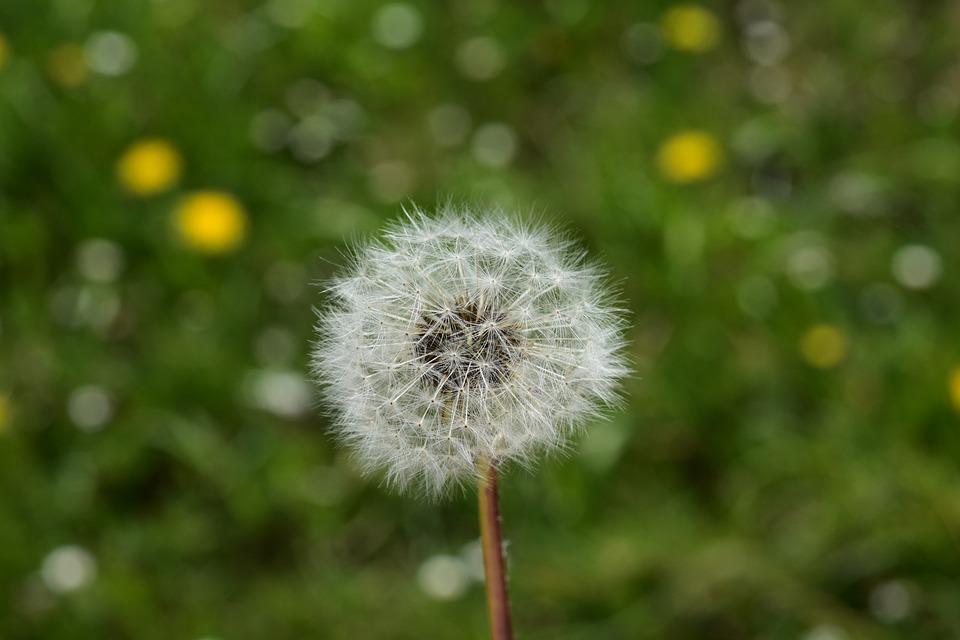 Egret Of Pisenlit, Dandelion, Seeds Fly In The Wind