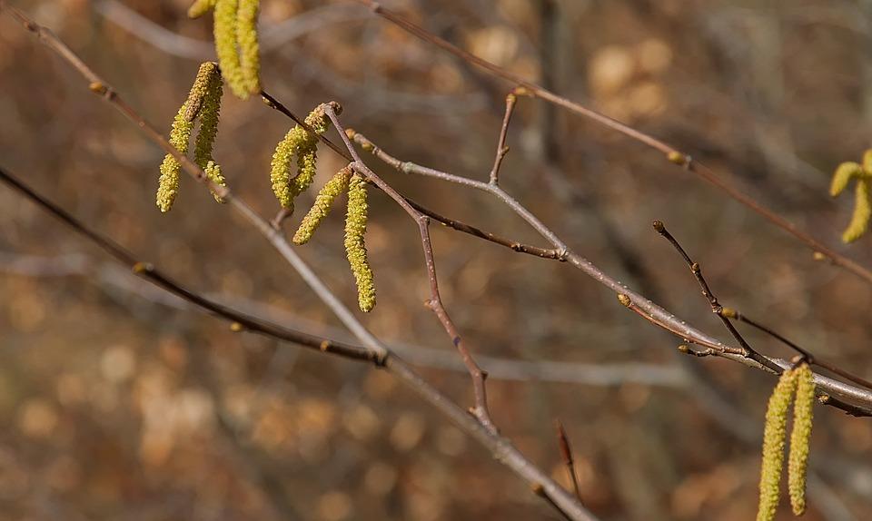 Spring, Yellow, Hazelnut, Forest, Seeds, Grove