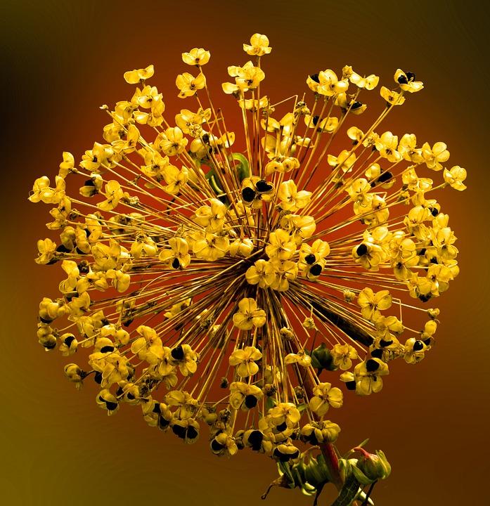 Spring, Blossom, Bloom, Seeds, Ornamental Onion, Close