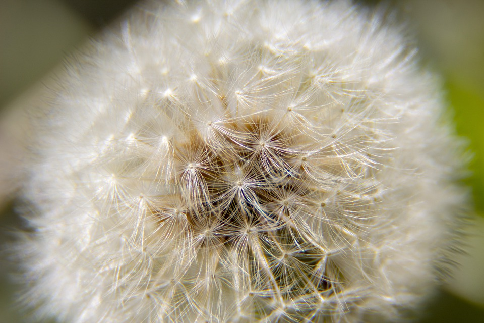 Dandelion, Pupava, Nature, Seeds, Seed, Structure