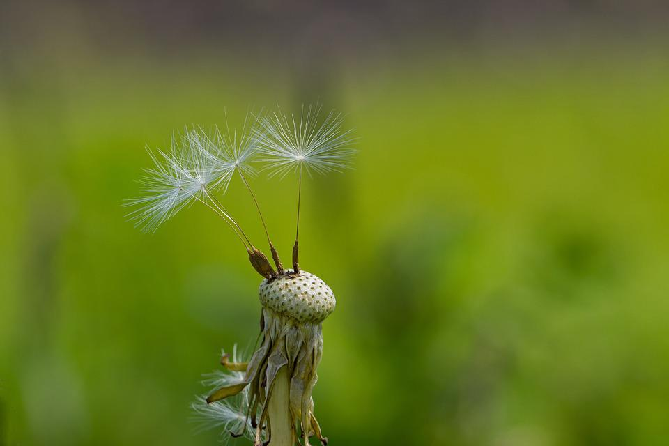Dandelion, Spring, Close, Macro, Seeds, Flying Seeds