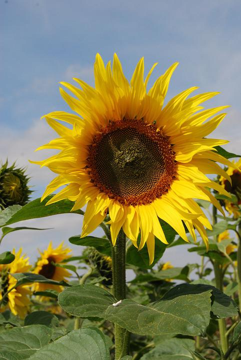 Sunflower, Flowers, Seeds, Agriculture, Summer, Yellow
