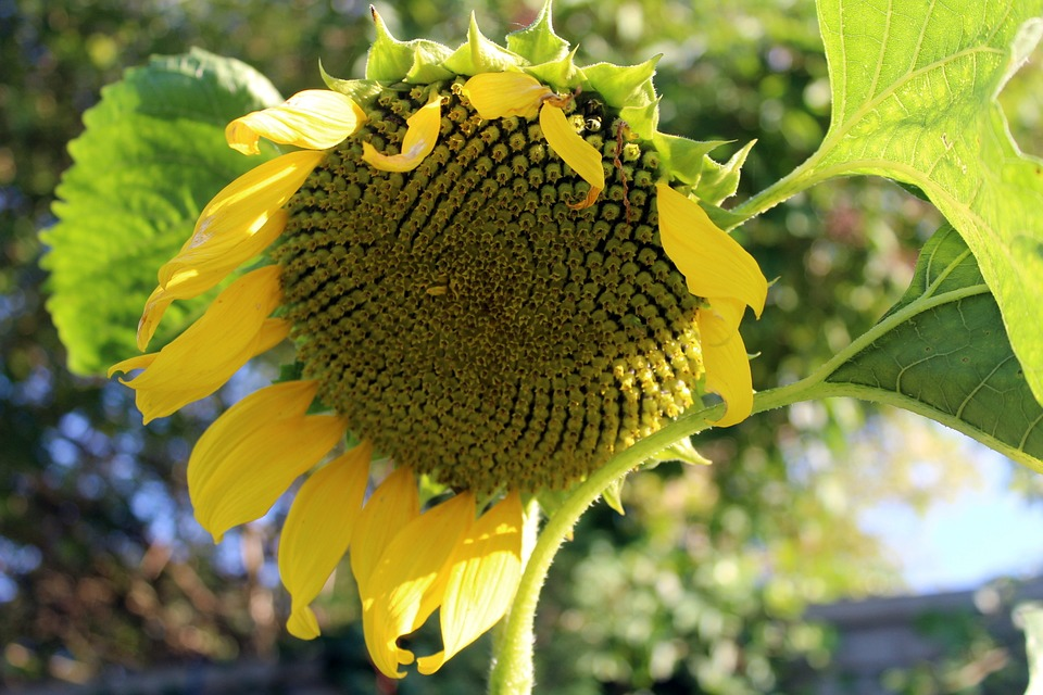 Sunflower Garden, Seeds, Plant, Flowering