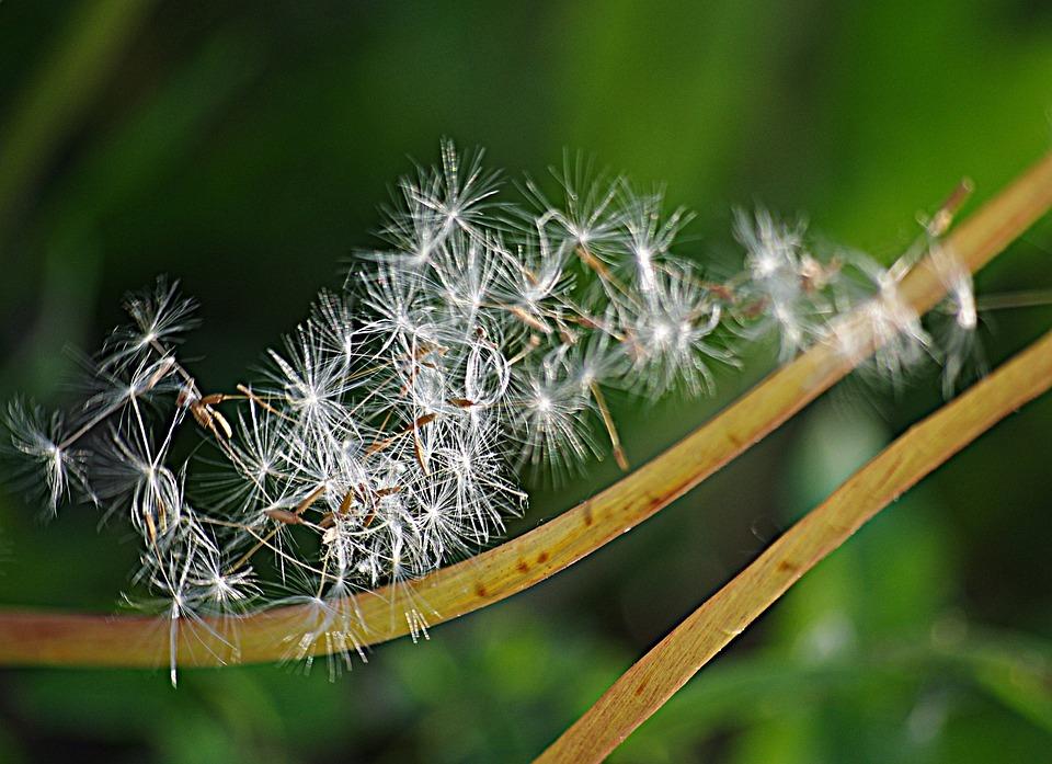 Dandelion, Seeds, Stalks, The Parachutes, Flowers