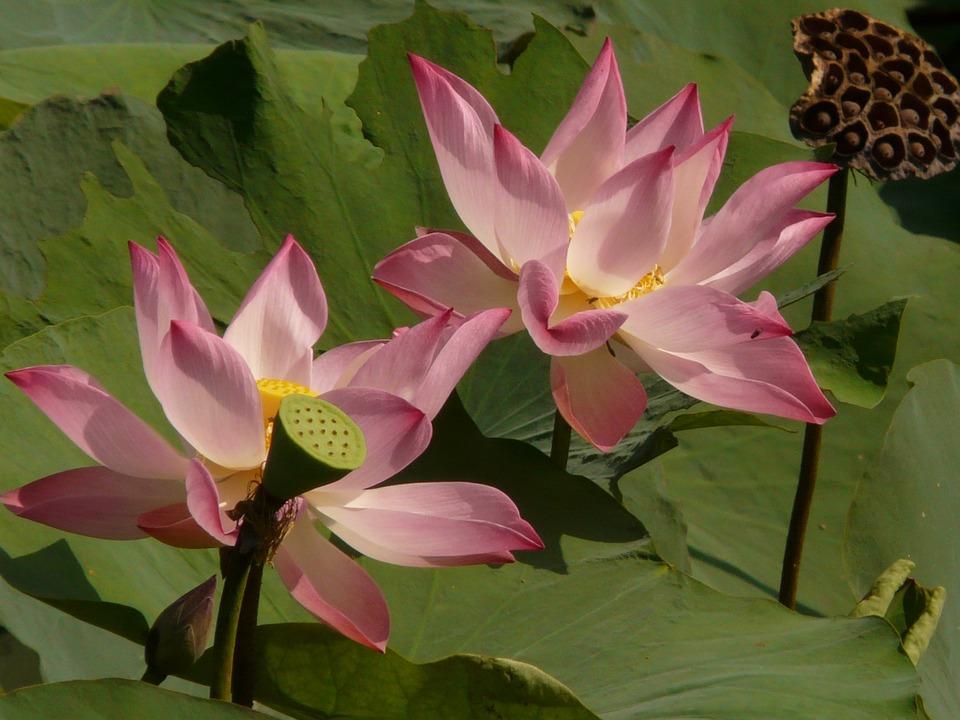 Lotus, Lotus Blossom, Blossom, Bloom, Seeds Was, Seeds