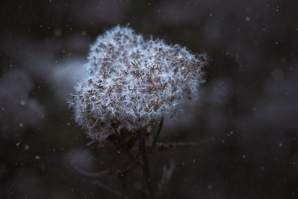 Winter, Seeds, Flying Seeds, Dried Plant, Snowflakes