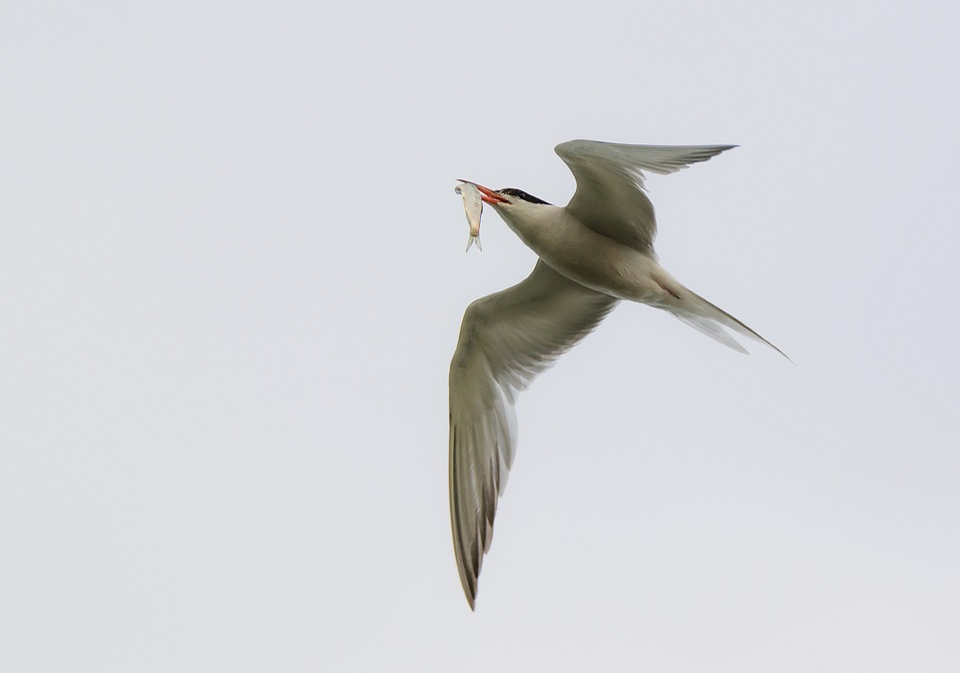 Arctic Tern, Seevogel, Bird, Gull, Schwalbe, Water Bird