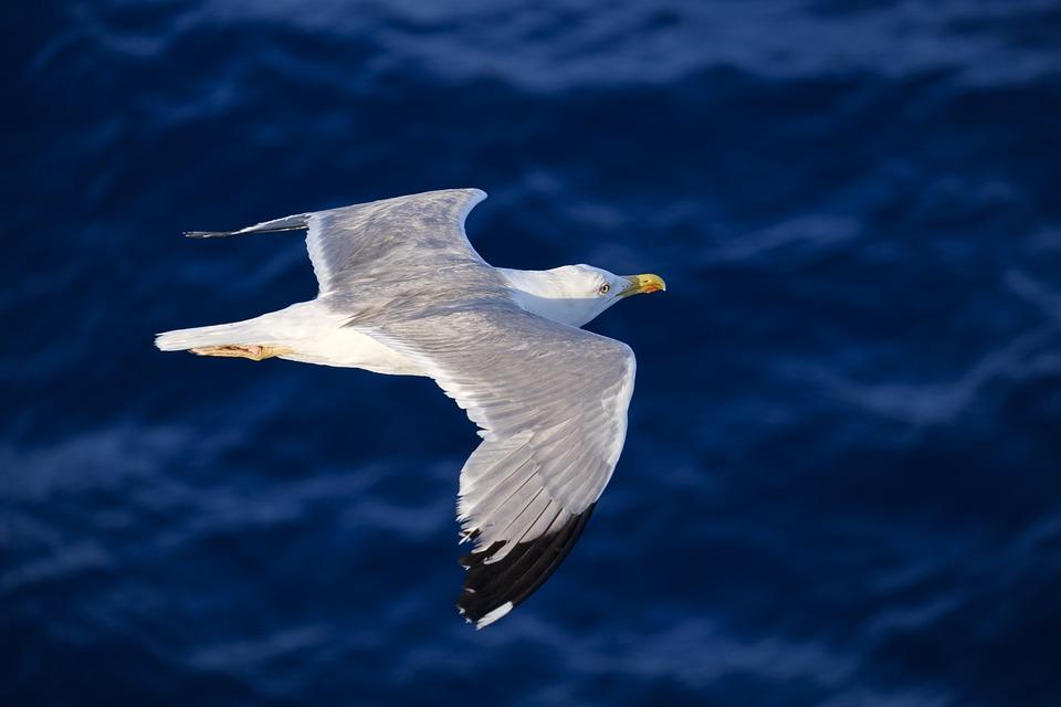 Seagull, Bird, Water Bird, Seevogel, Flying, Flight