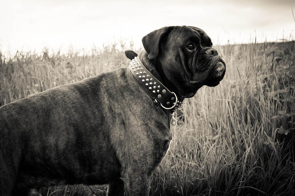Dog, Boxer, Animal, Black White, Pet, Out, Grass, Sepia