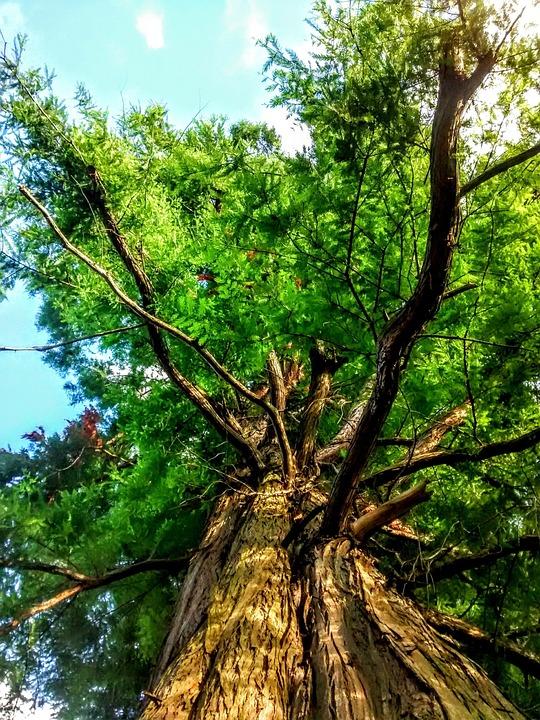 Sequoia, New Garden