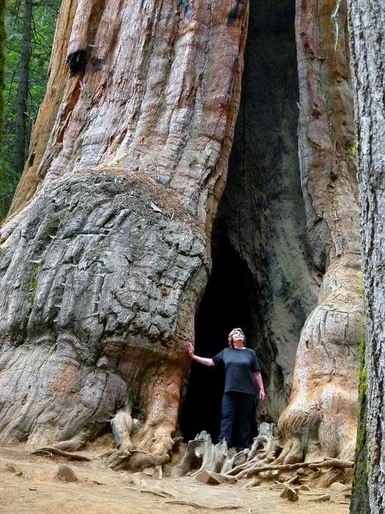 Sequoia Tree, Nature, Tourist Attraction, California