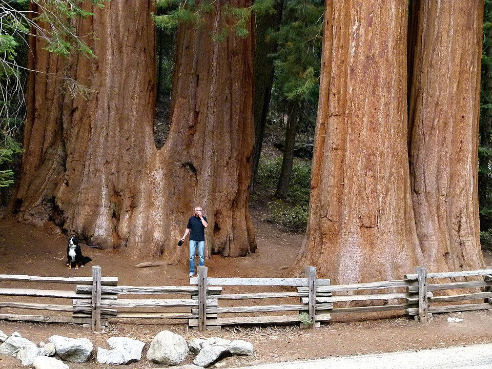 Sequoia Trees, Sequoia, Wood, California, Usa, Nature