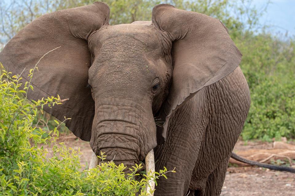 Elephant, Ears, Serengeti, Africa