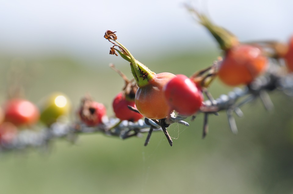 Rose Hip, Series, Cord
