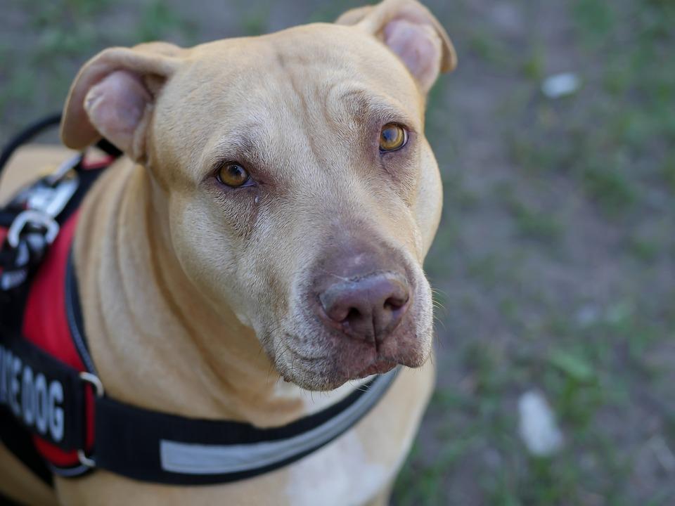 Pit-bull, Service Dog, Veterinarian, Animal, Care