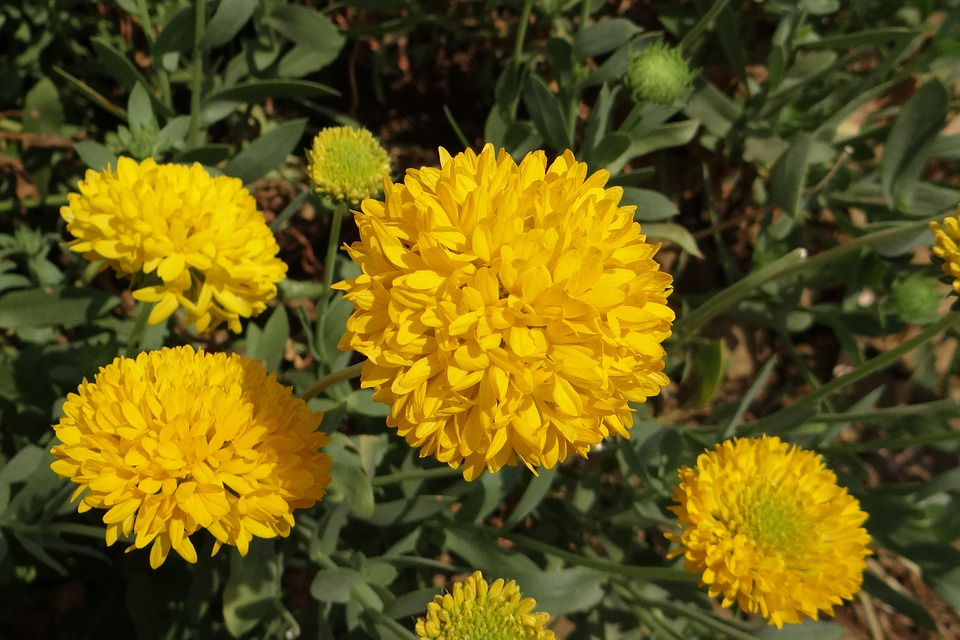 Chrysanthemum, Yellow, Sevanthi, Asteraceae, Karnataka