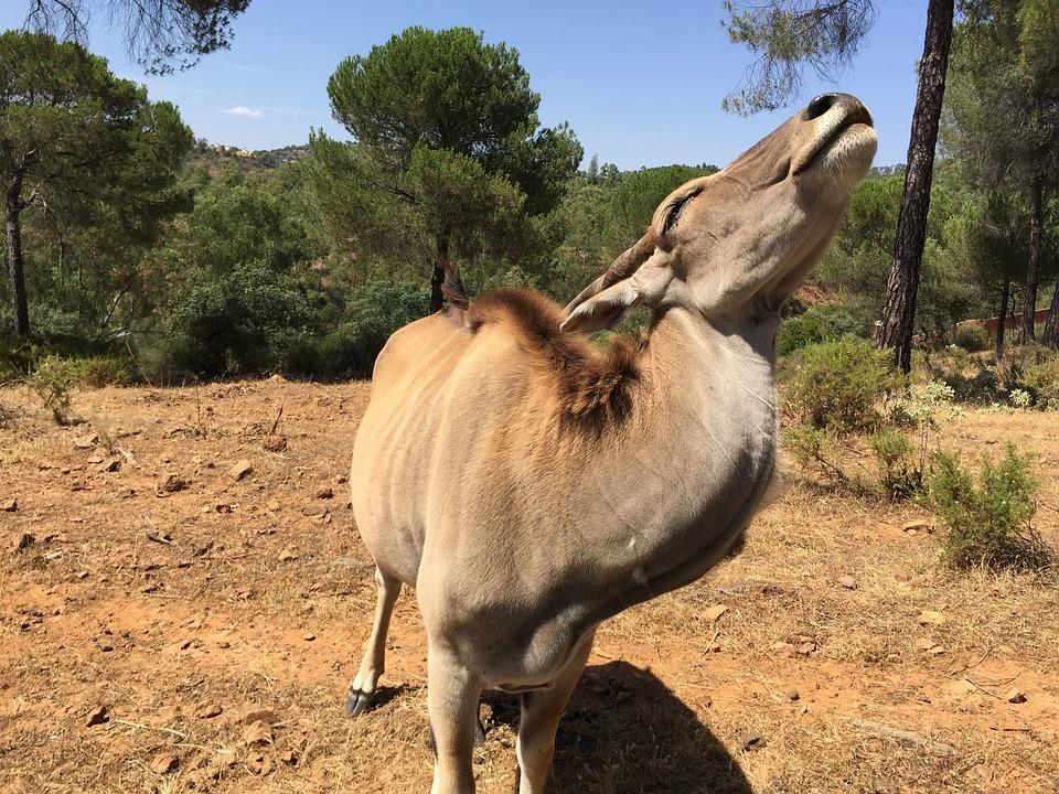 Eland, Antelope, La Reserva De Castillo, Seville