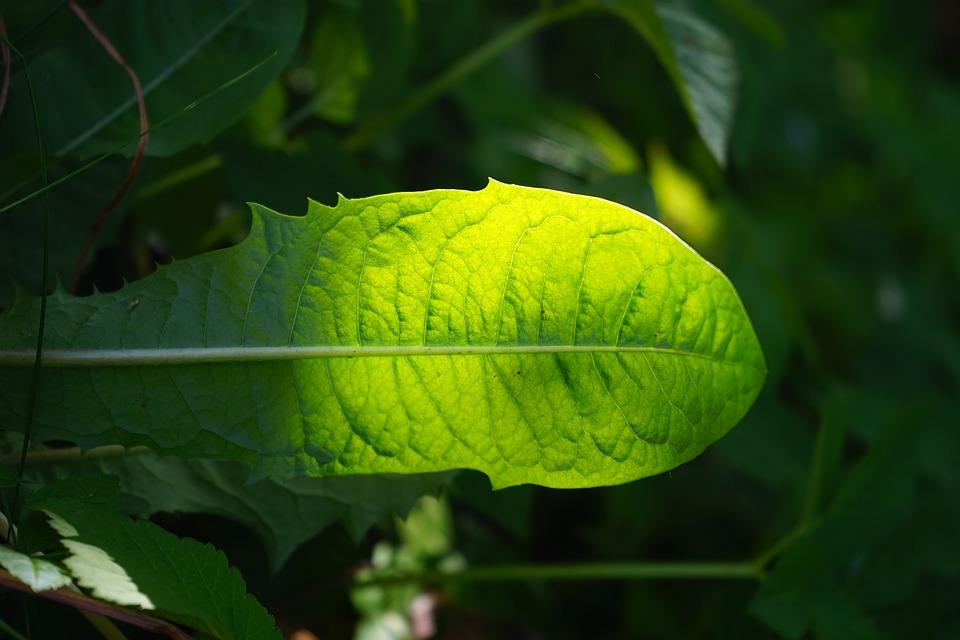 Dandelion, Leaf, Green, Shine Through, Shades Of Green