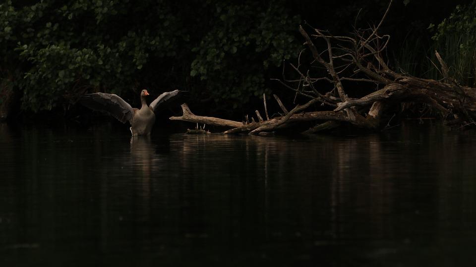 Goose, Wing, Shadow, Bank, Lake, Water Bird, Plumage