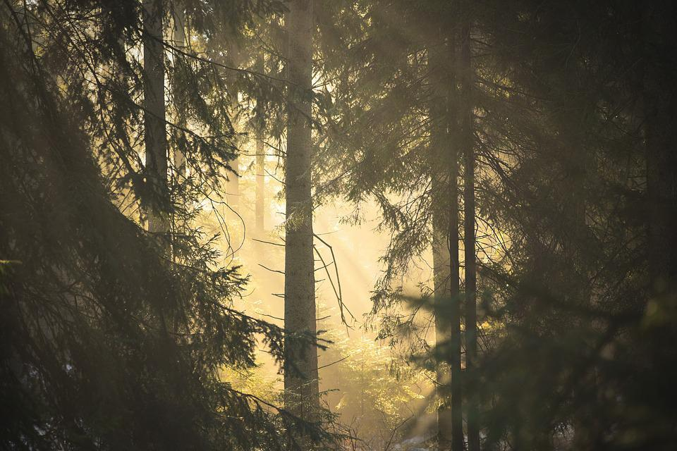 Forest, The Sun, Fir, Tree, Nature, Light, Shadow