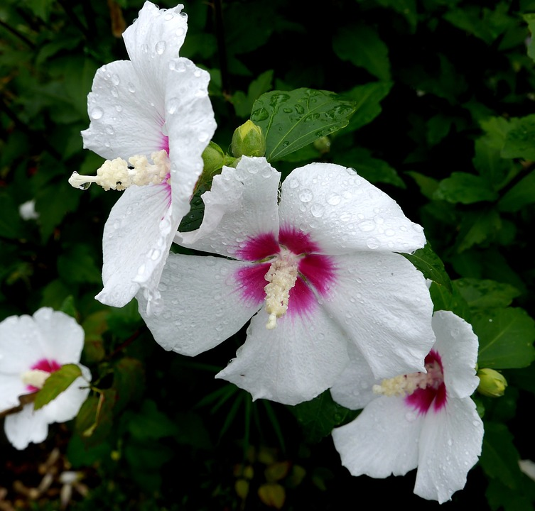 Sharon, Shaggy, White, Flowers, Rain, Drop Of Water