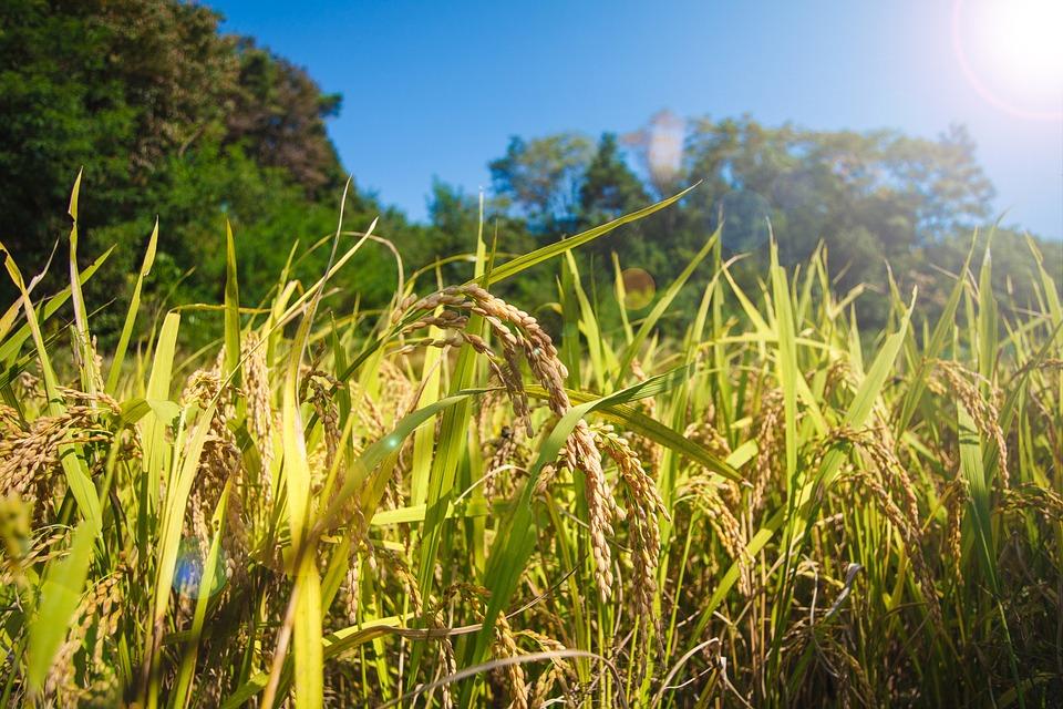 Rice, Farming, Grain, Shares, Plants