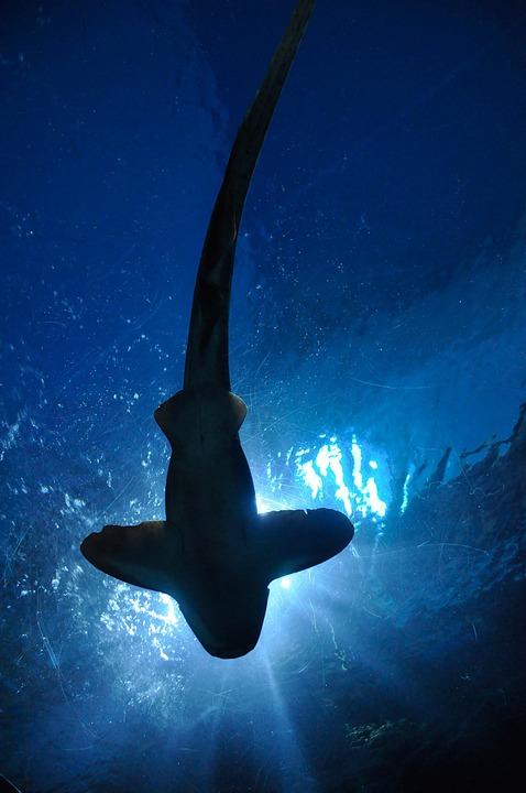Shark, Fish, Hammerhead Shark, Aquarium, Bangkok