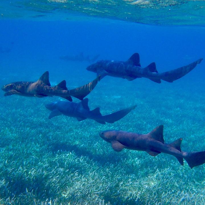 Sharks, Ocean, Nurse Shark, Underwater, Animal