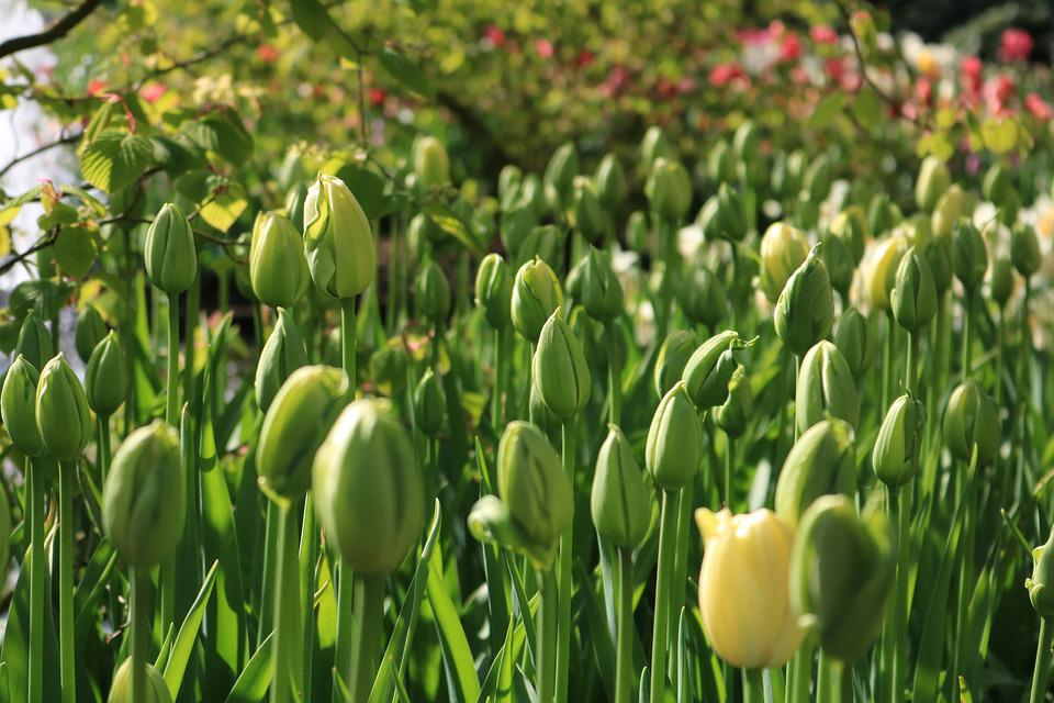 Tulips, Green, Keukenhof, Closed, Plant, Sharpness Game