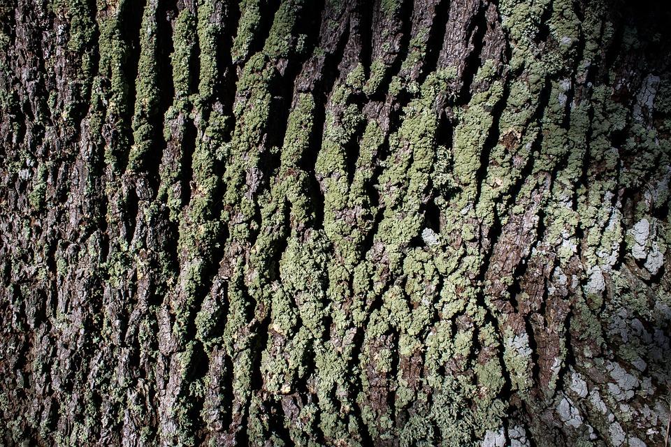 Bark, Tree, Oak, Old Oak, Bast, Shed Bark, Moss, Green