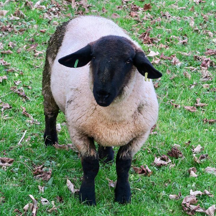Sheep, Black, Animal