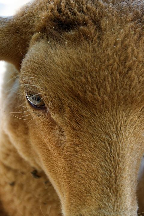 Sheep, Eye, Animal, Livestock, Herbivores