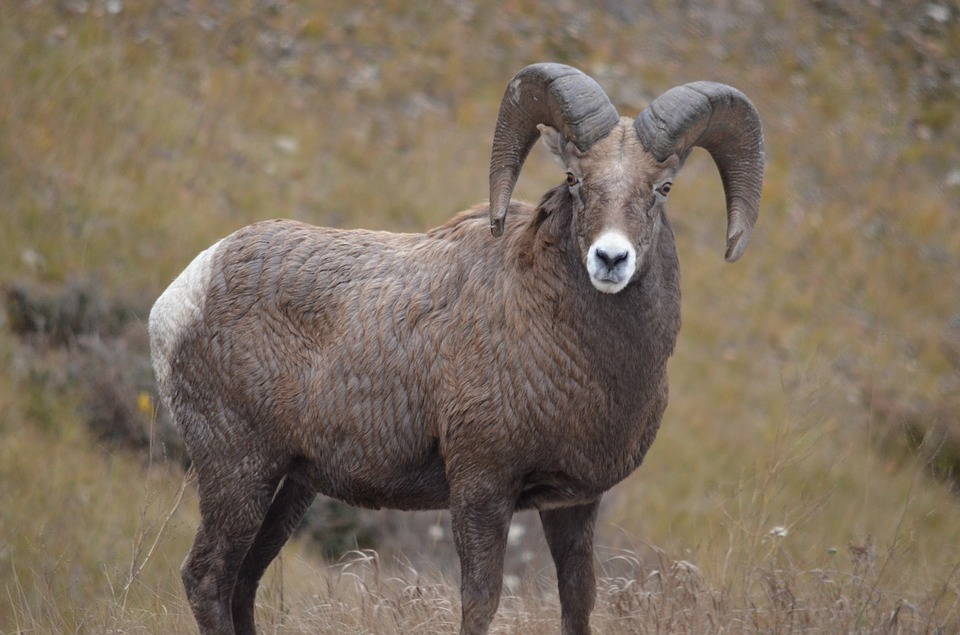 Big Horn Sheep, Mountain Sheep, Sheep, Rockies