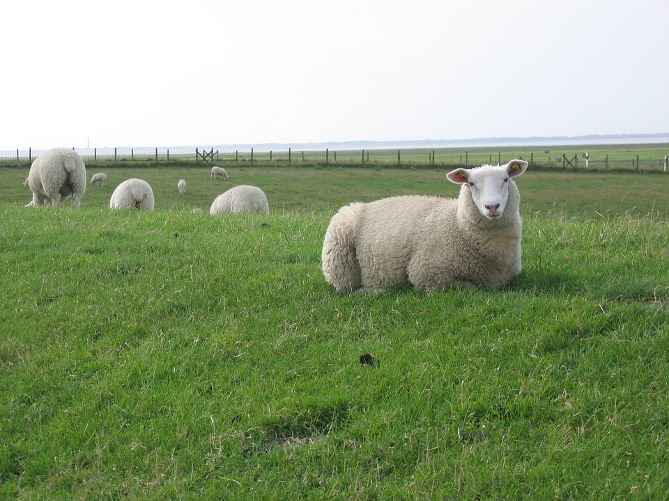 Dike, Deichschaf, North Sea, Sheep