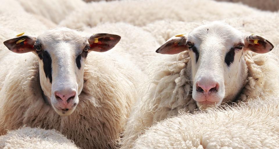 Sheep, Flock Of Sheep, Animals, Wool, Flock, Pasture