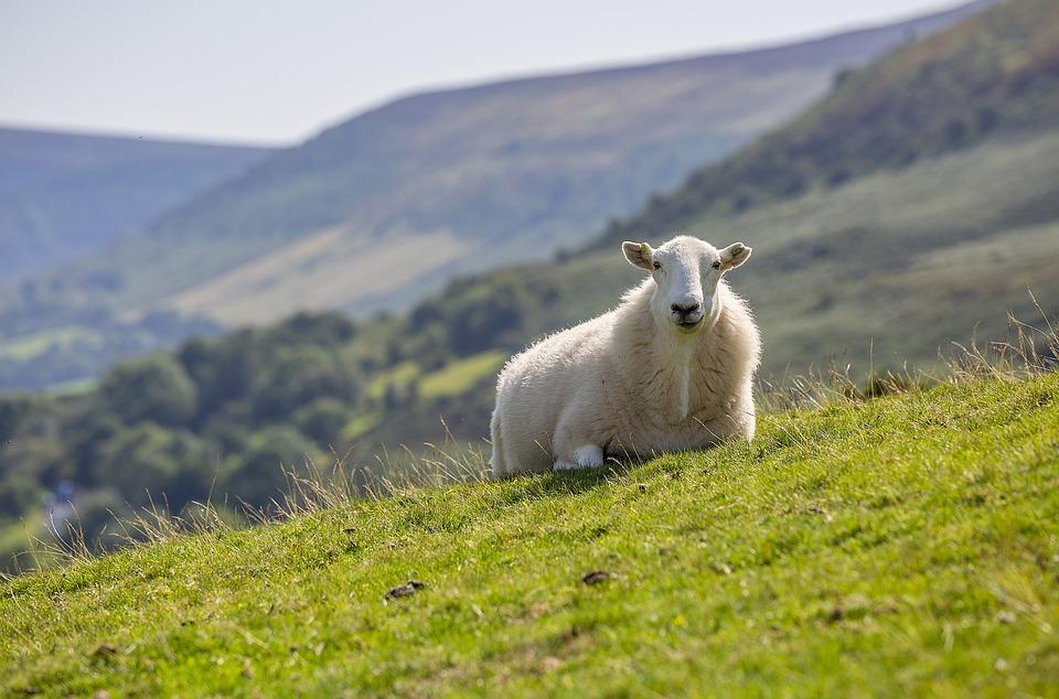 Sheep, Summer, Landscape, Nature, Meadow, Grass, Green