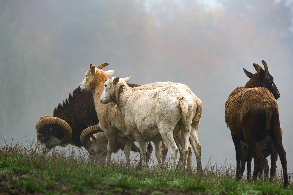 Sheep, Lamb, Wool, Horns, Fog, Livestock, Pasture